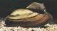 Muscheln for Muscheln im gartenteich