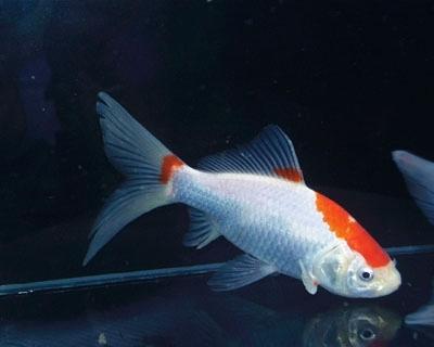 bilder goldfisch