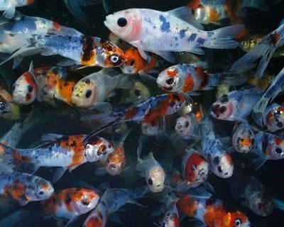 Shubunkin blau foerdefisch for Teichfische shop