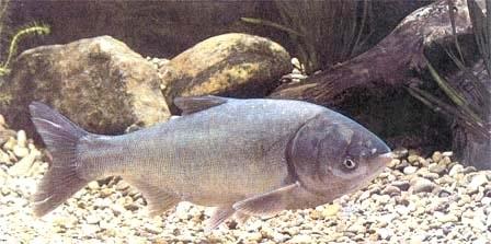 Silberkarpfen 12 15 cm foerdefisch for Muscheln im gartenteich