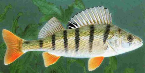 Flu barsch 6 8 cm foerdefisch for Fische im naturteich