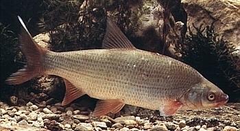 Besatzfisch set 2 foerdefisch for Gartenteichfische arten
