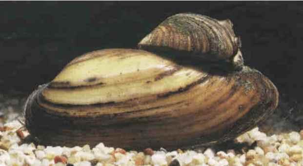 Muscheln Vermehrung